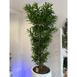 DRACENA REFLEX SON OF HAMAICA