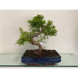 Bonsai di Zanthoxylum
