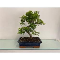 Bonsai di Zanthoxylum Medio