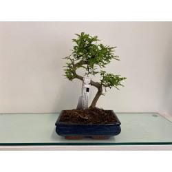 Bonsai Zanthoxylum 3