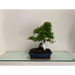 Bonsai di Podocarpus