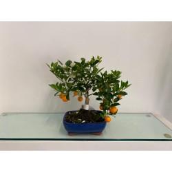Bonsai di Citrus