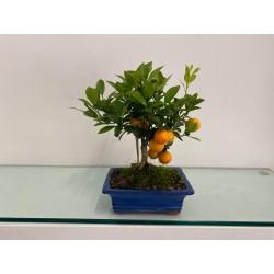 Bonsai Citrus  2